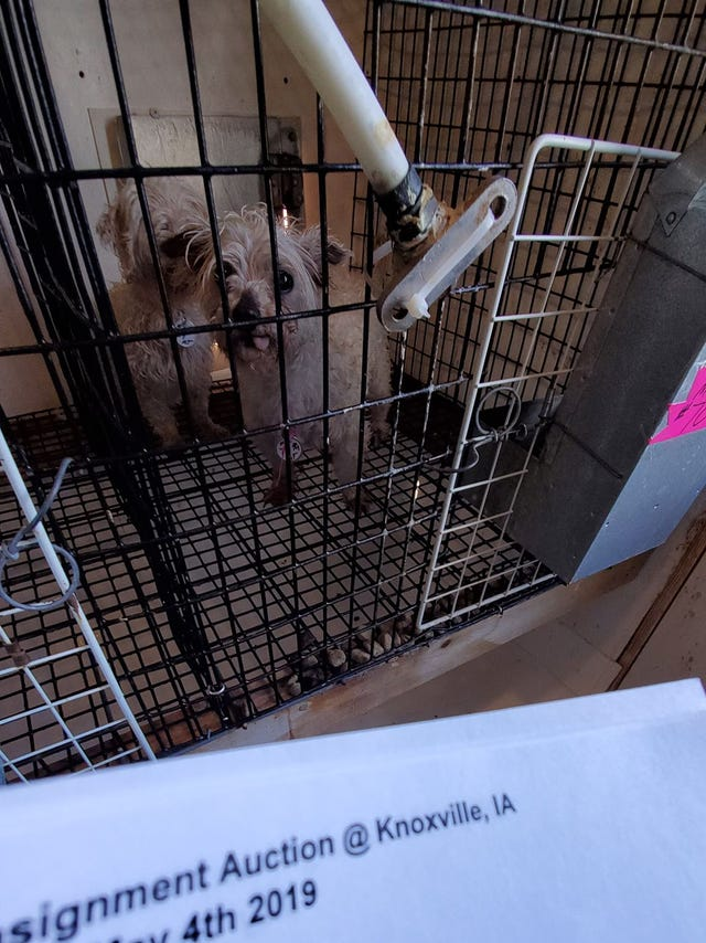 Iowa puppy mill's overcrowded kennels triggered recent