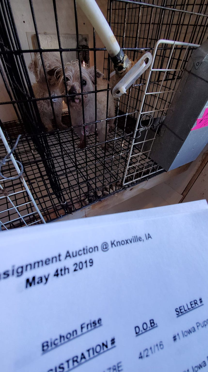 Dogs wait their turn to be sold at a May 4, 2019, auction at Double G Kennels in Knoxville, Ia. By the end of the auction, 44 buyers took more than 200 dogs to new homes across 10 states.