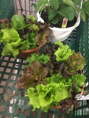 Lettuce Bowl at Blocks Stand and Greenhouse