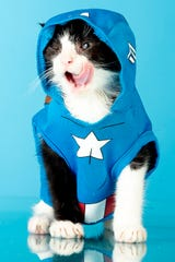 Sentinel, a seven-week-old Tuxedo kitten, wears a Captain America costume in the News Sentinel photo studio in Knoxville, Tennessee on Thursday, August 1, 2019. Sentinel is the unofficial mascot of the Knoxville News Sentinel.