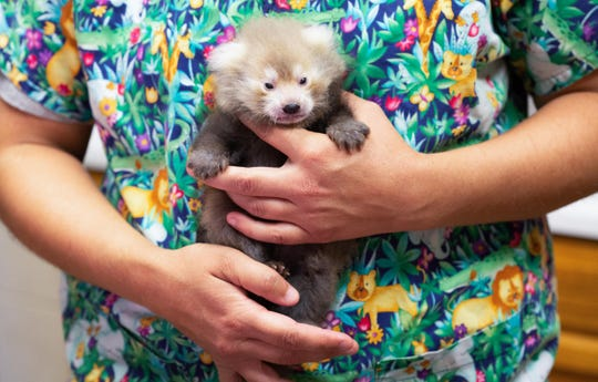 Zoo Knoxville's red panda cub is thriving on her bottle feedings.