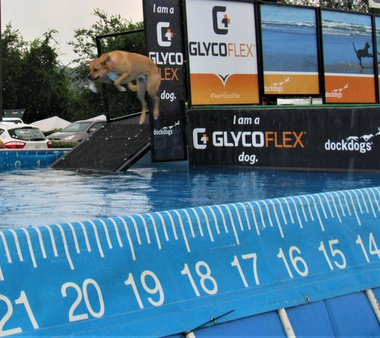 """This first-time dock diver took the """"pooch plunge"""" last year at Dog Daze in Village Green. The pool holds over 27,000 gallons of fresh Tennessee River water, compliments of FUD."""