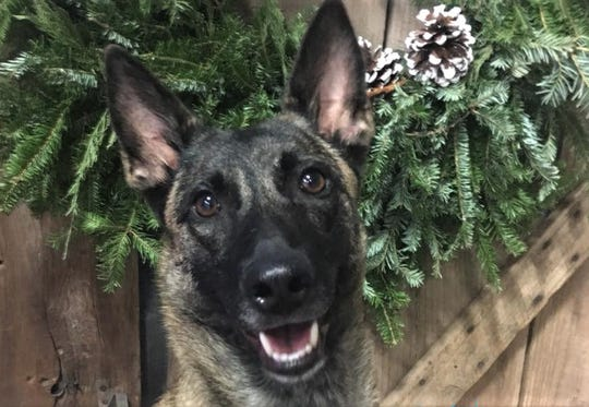 Kix was all ears while attending a holiday party in 2018 at the K9 Center of ET with owner Lisa Hudgens.