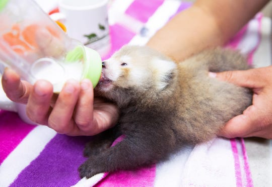 Zoo Knoxville's newest red panda loves her bottle.