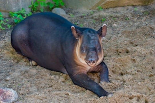 Iibu, a 1 1/2-year-old Baird's tapir, arrived at the Milwaukee zoo in April from the zoo in Tucson, Ariz. He can be seen in the South America exhibit.