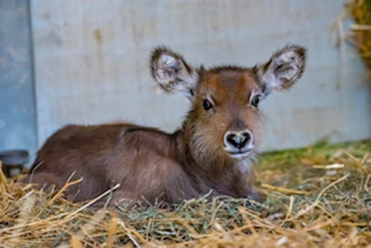 Hershey, a male waterbuck calf, was born April 12 at the Milwaukee zoo and can be seen in the African Waterhole exhibit. His mother, Hannah, was pregnant when she arrived from the San Diego Zoo Park last fall.