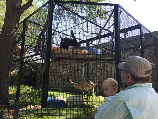 Alexandria, a 36-year-old orangutan, draws Milwaukee zoo visitors to her outdoor enclosure Thursday. Alex arrived from the Cincinnati Zoo in April as a companion to 37-year-old Tommy, a male orangutan born at the Milwaukee zoo.