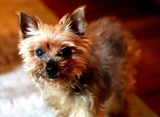 Titus, an elderly Yorkie, was taken by a stranger over a year ago and has now been reunited with his family due to a microchip.