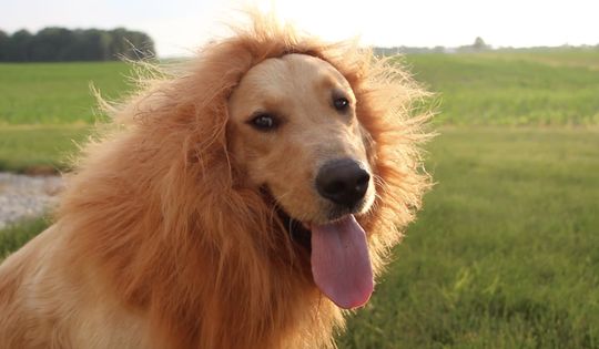 One of the Schlegel family's dons a lion's mane during a music video shoot. The Schlegel family entered a contest sponsored by DOLE food and inspired by Disney's The Lion King that asked people to share family traditions. They took it to the extreme with a banana suit, a lion costume, a fun rap and a video starring their two kids and three dogs.
