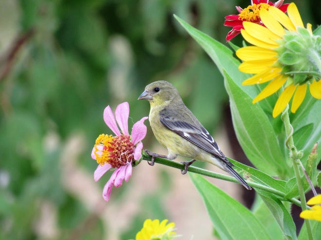 A lesser goldfinch rests on a zinnia stem next to sunflowers in Las Cruces in July 2016.