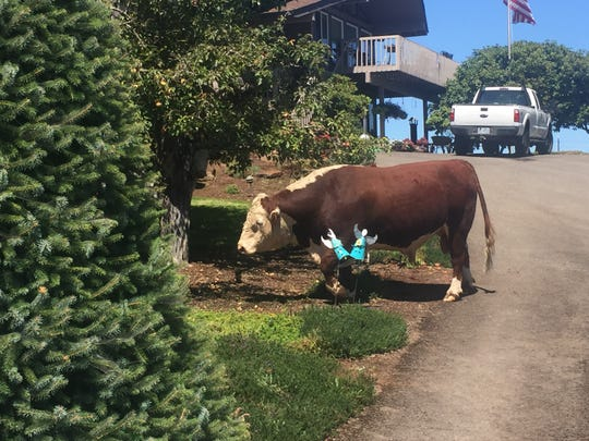 Seven cows and one bull broke free from a field Thursday and wandered into a neighboring Christmas tree farm in South Salem. They damaged the lawn and flower beds at the home of Harold and Grace Schipporeit.