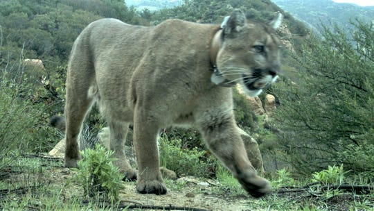 The Rancho Simi Recreation and Park District will become the latest public agency in Ventura County to stop using anticoagulant rodenticides, which can be harmful to wildlife, such as this mountain lion which died in March in the Santa Monica Mountains. Authorities found rat poison in his system.