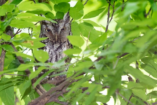 A sleepy Eastern Screech-Owl hides by day among dense leaves at the Abilene State Park.