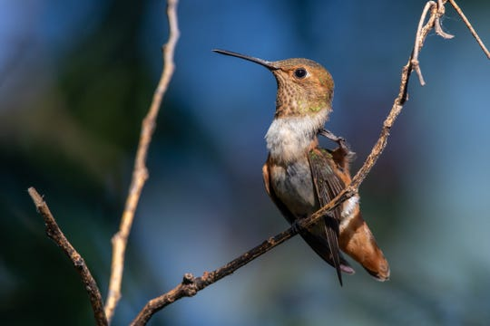 The 256th species of Jay's Big Year, a young Rufous Hummingbird, scratches his head at a backyard in Tye.