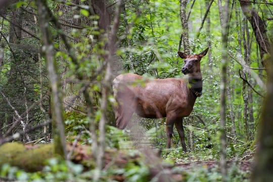 An elk grazes near Fall Branch Road in the Pisgah National Forest near the Pigeon River Gorge July 24, 2019.