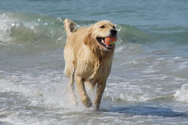 Charlotte Hertz says her 3-year-old golden retriever, named Misty, enjoys playing on the beaches.
