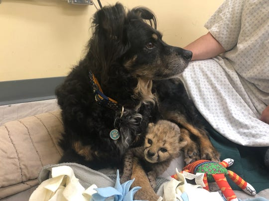 Cincinnati Zoo & Botanical Garden has enlisted the services of retired Australian Shepherd Blakely to help care for a baby cheetah.