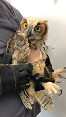 Canton Police Department officers rescued an owl from a soccer net Aug. 2, 2019. The owl received treatment from a nature center.