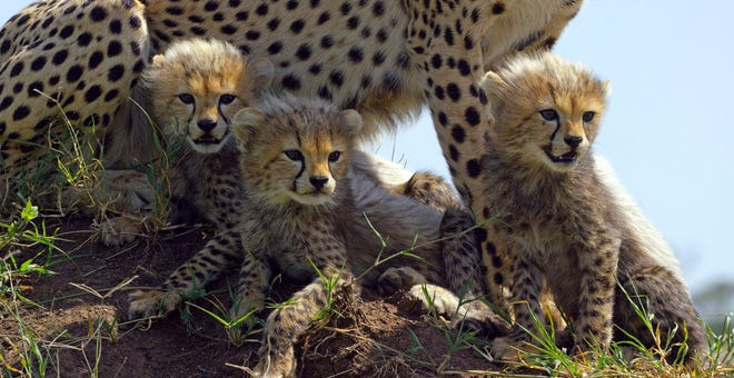 "This image released by Discovery shows Cheetah cubs from episode two of ""Serengeti,"" a six-part series premiering Sunday, August 4. (Richard Jonesl/Discovery via AP)"