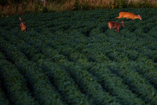 A group of deer run through a soybean field, Monday, July 29, 2019, along American Legion Road in Iowa City, Iowa.