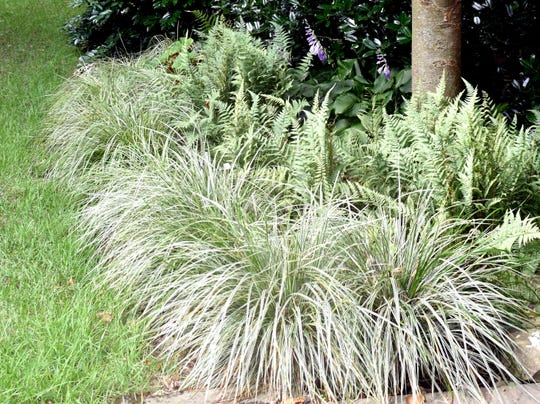 This grass-like variegated sedge is not a true grass, allowing use of certain herbicides should the turfgrass invade the bed.