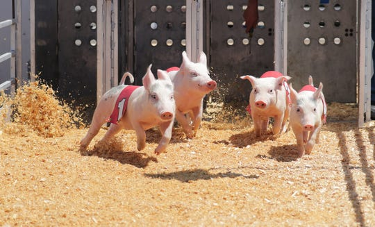 Wisconsin State Fair favorites include racing pigs.