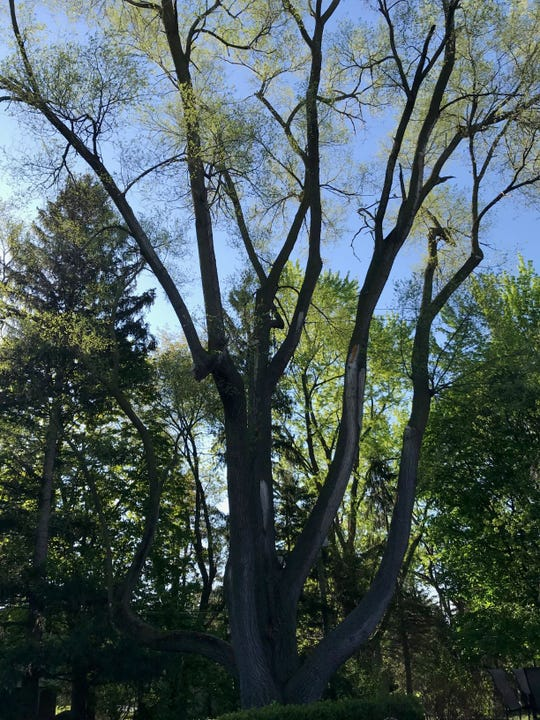 A Chinese elm in Farmington Hills is one of the entries in the Michigan Big Tree Hunt Contest.