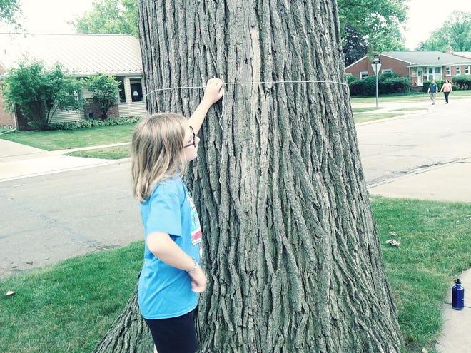 Ruby Edwards takes the measure of a Bur Oak in Birmingham.