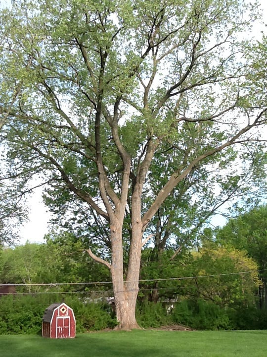 A Cottonwood in Livonia is one of the entries in the Michigan Big Tree Hunt Contest.