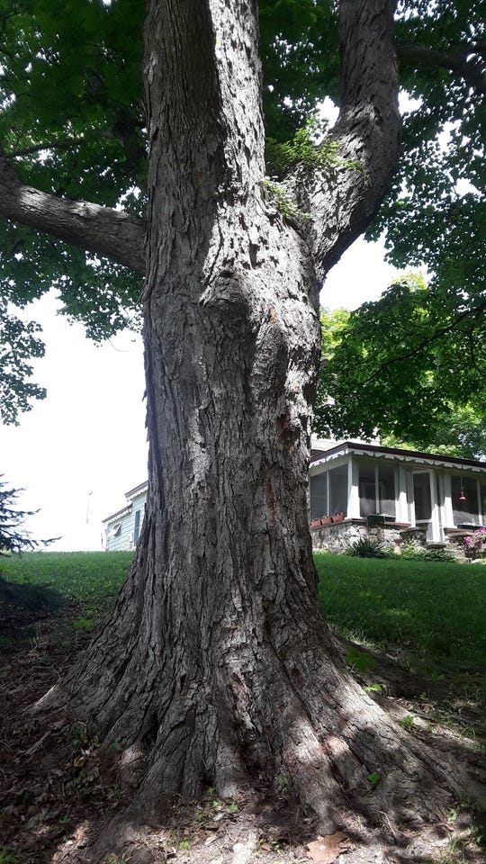 A sugar maple tree in Milford has been entered in the Michigan Big Tree Hunt Contest.