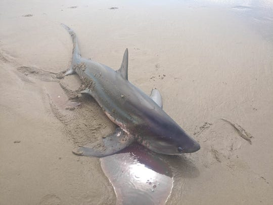 A juvenile thresher shark washed ashore in Manzanita Wednesday, July 31.