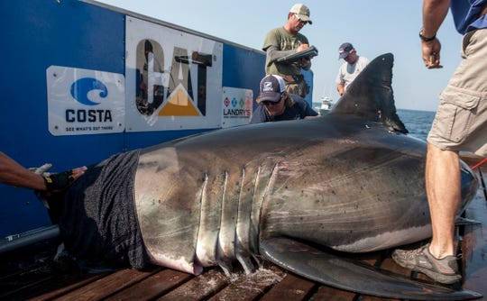 The great white shark Katherine, shown here during an OCEARCH shark tagging expedition off Cape Code in 2013, pinged off of Ocean City in September 2014.