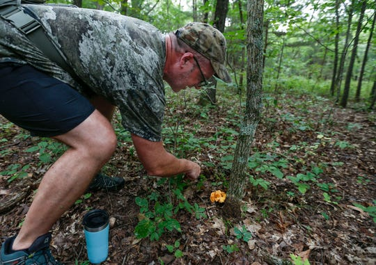 Chris Miller clears the area around a chanterelle mushroom before he harvests it from the woods near Stockton Lake on Thursday, Aug. 1, 2019.