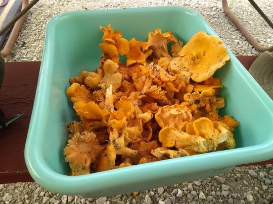A bin of freshly picked chanterelle mushrooms found near Stockton Lake.