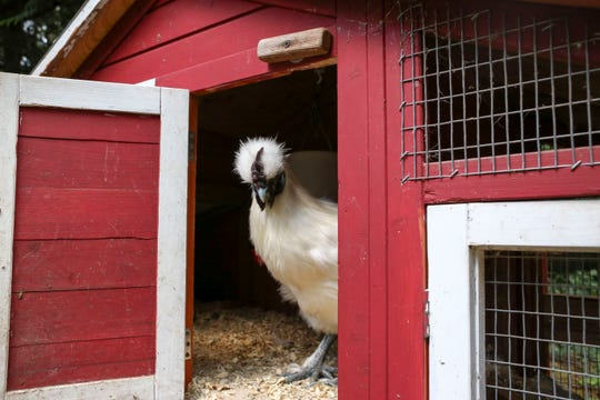 Heat Lamps Cause A Fowl Problem For Kitsap County Bird Owners