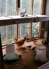 A mother hen provides heat and comfort to chicks at Kathy Parker's poultry farm, Gold Mountain Turkeys, in Bremerton.