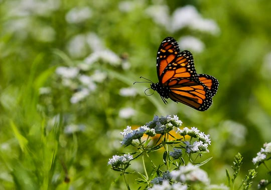 A monarch butterfly lands on a flower shortly after being released Saturday, August 3, 2019 at Prairie Fest at the Gottfried Prairie and Arboretum at the UW Oshkosh, Fond du Lac campus in Fond du Lac, Wis. Doug Raflik/USA TODAY NETWORK-Wisconsin