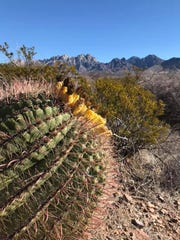 The barrel cactus can grow to be more than seven feet tall - generally standing as a single column, unless an injury causes it to split.