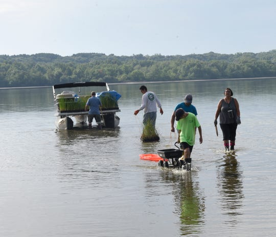 Volunteers used carts and sleds to transport the plants from the beach to a pontoon Saturday, Aug. 3, 2019, at Benton Beach Campground on Little Rock Lake.