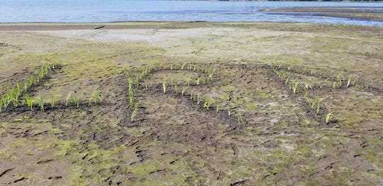 Steve Seviola spelled out LRA with bulrush near Little Rock Creek as a tribute to the association who is leading the drawdown.