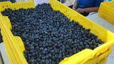 FullBlue 360 farm in Lacey is growing blueberries through new agriculture techniques.