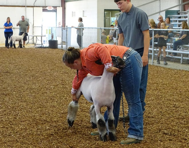 Payton Britton, 17, of Jr. Livestock Grower sets her yew's legs during the Jr. Fair Sheep Breeding Show. Britton took first in the crossbreed, Hampshire and overall categories. She also received first in the senior showman division.