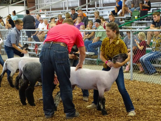 11-year-old Jadyn Cantrell of Ruff N' Tuff 4-H club took third place in the junior class of the sheep showmanship competition. Judge Thomas Beaver said that in this class, the exhibitor's hand placement is a deciding factor.