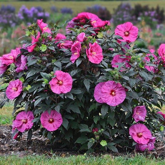 The 2019 Proven Winner Perennial of the Year, Hibiscus Summerific 'Berry Awesome,' bursts forth with a showy display of luscious ruffled 7- to 8- inch lavender-pink flowers accented with a dark red eye.