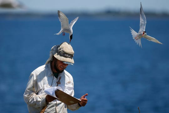 Research assistant Michael Rickershauser is dive-bombed by common tern as he records data in their nesting colony on Eastern Egg Rock, off the coast of Maine. Padding under his hat helps soften the jab of the pointed beak. The aggressive terns provide protection for puffins by chasing off predatory gulls.