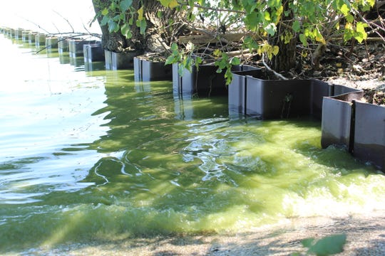 Pea green algae has shown up along parts of Ottawa County's Lake Erie coastline, as seen here at Magee Marsh Wildlife area Monday morning. The lake's algal bloom extends from Maumee Bay north along the Michigan coast to Brest Bay, east along the Ohio coast to the Portage River, and up to 7 miles east of West Sister Island.