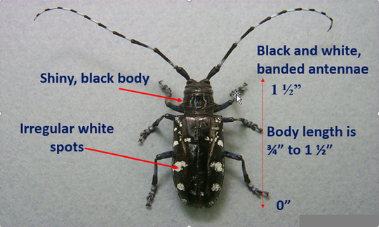 Asian longhorn beetle is present in New York, Ohio and Massachusetts. Michigan wildlife authorities are urging residents to check their trees for signs of damage and refrain from transporting firewood, which may carry the beetle.