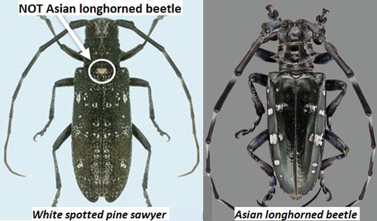 The Asian longhorn beetle, right, has a native lookalike, the white spotted pine sawyer.