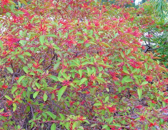 Native firebush, Hamelia patens var. patens is found in Florida from the Keys north to Volusia County and south into Central and South America. It is a good plant for buffers and is resistant to pests. It is only moderately salt tolerant, but is drought tolerant.
