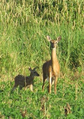 Fawn and Doe, taken on a digital camera by Susan Manzke.